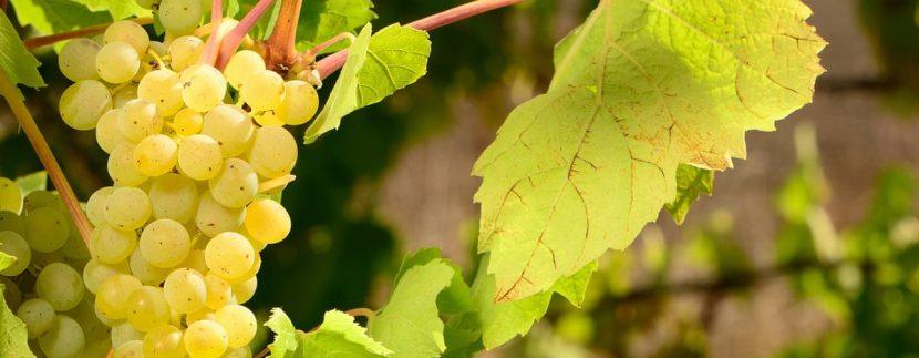 grape-production